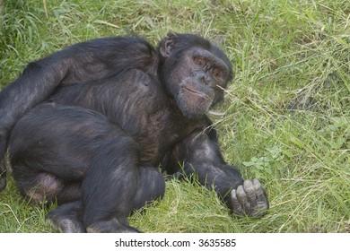 Horizontal image of a chimpanzee laying in grass looking at camera
