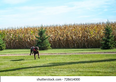 horizontal image chocolate lab happily running with tennis ball wearing red scarf on grass with corn field and spruce trees and blue sky in background