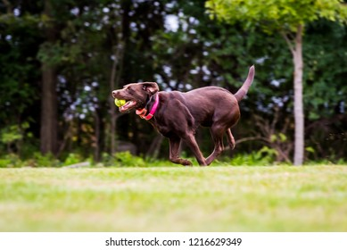 horizontal image chocolate labrador retriever happily running with tennis ball playing catch. Grass and trees in background. Dog in motion.