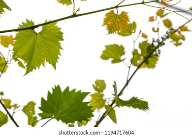horizontal image with detail of a group of green leaves of a white vine plant