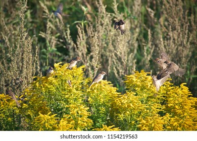 Horizontal image of Eurasian tree sparrows (Passer montanus) playing in a bush of Solidago canadensis (Canada goldenrod or Canadian goldenrod) an invasive plant in Latvia on a warm summer day