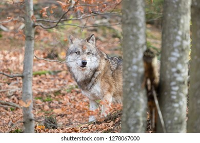 horizontal image of a eurasian wolf in a forest, trees in the foreground, Bavaria, Germany