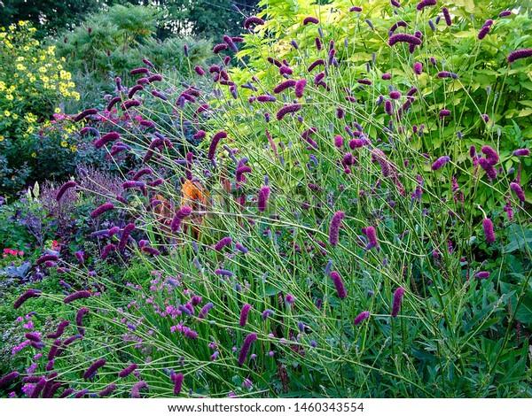 Horizontal image of the flowers of purple Japanese burnet (Sanguisorba tenuifolia var. purpurea) against the bright yellow foliage of golden elderberry (Sambucus 'Aurea')