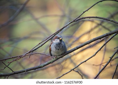 Horizontal image in full length of House sparrow (Passer domesticus, Haussperling) sitting on the branch on a warm autumn day with bright colorful background.
