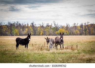horizontal image of a group of mules in a farm yard pasture looking at the camera on a fall afternoon.