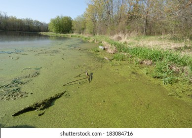 Horizontal image of heavy algae bloom along the shoreline of a biodiversity pond that is left in its natural state in order to study its ecosystem and the health of the water