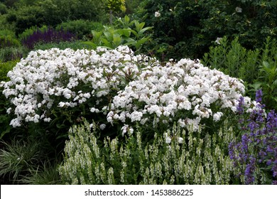 Horizontal image of 'Minnie Pearl' phlox (Phlox 'Minnie Pearl') in full flower in a garden setting with 'Snow Hill' perennial sage (Salvia 'Snow Hill')