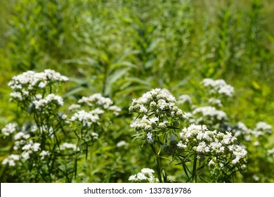 Horizontal image of narrow-leaved mountain mint (Pycnanthemum flexuosum) flowers against green meadow grasses, with copy space
