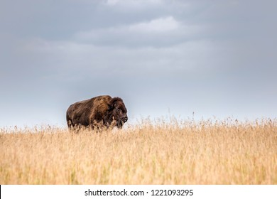 horizontal image of one big majestic bison standing in a tall field of golden grass under a light gray smooth sky in the summer with room for text.