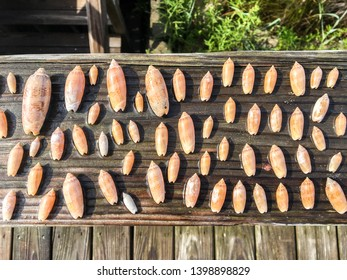 A horizontal image from overhead of the lettered olive shell (Americoliva sayana) in different sizes on a wooden background.