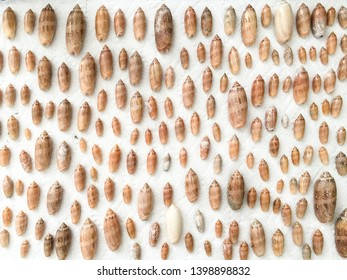 A horizontal image from overhead of the lettered olive shell (Americoliva sayana) in different sizes on a white background.