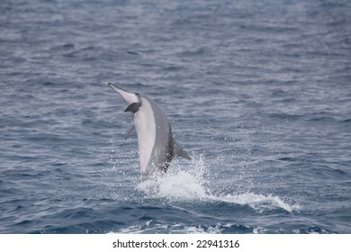 Horizontal image of a pacific spinner dolphin breaching.