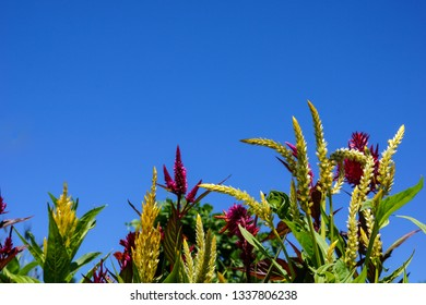 Horizontal image of the red and yellow flowers of plumed celosia (Celosia 'Pampas Plume') against a cloudless blue sky, with copy space