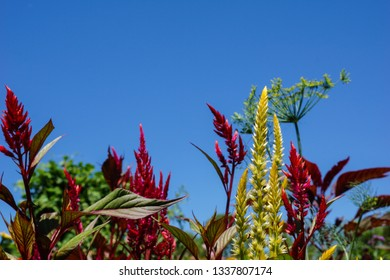 Horizontal image of the red and yellow flowers of plumed celosia (Celosia 'Pampas Plume'), and a head of dill (Anethum graveolens), against a cloudless blue sky, with copy space