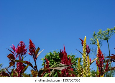 Horizontal image of the red and yellow flowers of plumed celosia (Celosia 'Pampas Plume'), and a head of dill (Anethum graveolens) against a cloudless blue sky, with copy space