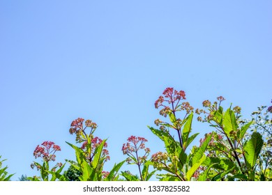 Horizontal image of the stems, leaves, and flowers of Joe-Pye weed (Eutrochium maculatum, formerly known as Eupatorium maculatum) against a cloudless blue sky, with copy space