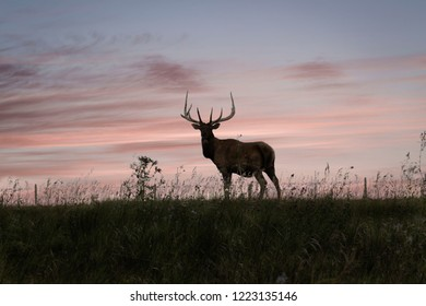 horizontal image of a tall male elk with massive big horns standing with grace and looking at the camera against a beautiful pink sunset with room for text.