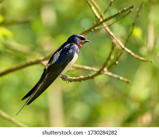 Horizontal image of a tiny swallow bird sitting on a branch, isolated by green  bokeh background. Amazing Vibrant Blue, White Brown feathered bird. Fauna Landscape Horizontal Image With Copy Space.