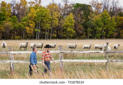 horizontal image of two caucasian cowboys walking along the fence beside the pasture with a row of white sheep gazing toward the men with fall trees in the background.