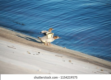Horizontal image of two common mergansers (North American) or goosanders (Eurasian) (Mergus merganser) sitting on a bank of a river and flaging wings
