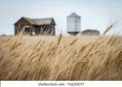 horizontal image of wheat field waving in the wind with an old brown house and a steel granary bin blurred in the background with room for text in the fall time.
