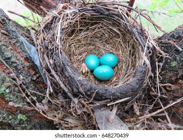 horizontal images of a robins nest with three small beautiful blue eggs