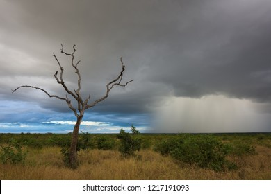 A horizontal landscape photograph of a dead tree with massive rainfall in the distance during a storm over the wilderness of the Kruger National Park in South Africa