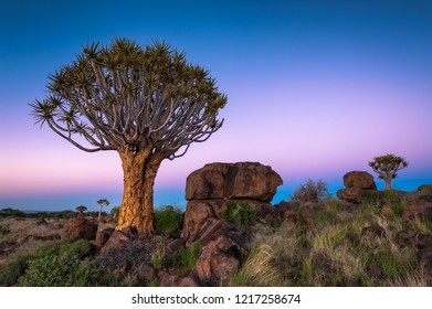 A horizontal landscape photograph of a Quiver Tree (Aloe dichotoma) surrounded by rock at sunrise with a clear sky in the Keetmanshoop Quiver Tree Forest in Namibia.
