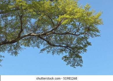 Horizontal live oak branch with new spring green leaves against a clear blue sky. There is a bird nest at the tip of the branches.