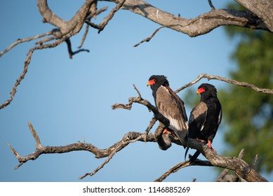 A horizontal, low angle, colour image of two bateleur or short-tailed eagles, Terathopius ecuadatus, perched in the branches of a bare tree against a blue sky in the Sabi Sands, South Africa.
