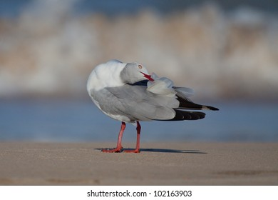 A horizontal low angle image of grey-headed gull grooms its feathers on a sandy smooth beach with the out of focus sea waves breaking in the background at Sodwana Bay, South Africa.