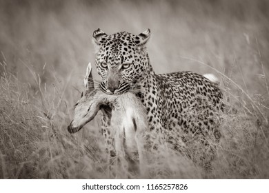 A horizontal, monochrome photograph of a leopard, Panthera pardus, carrying a fresh steenbok kill, Raphicerus campstris, through tall dry grass at Djuma Private Game Reserve, South Africa.