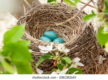 horizontal orienation close up color image of a robin's nest with three bright blue eggs in the branches of a flowering tree in springtime