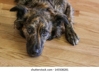 horizontal orientation close up of a black and brown dog laying on a wood floor with copy space / Time for a Walk?