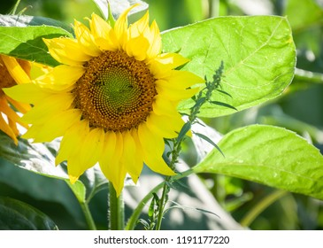horizontal orientation close up of a sunflower in summer in bright yellow and greens