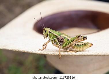 horizontal orientation color close up image of a grasshopper on a cowboy hat