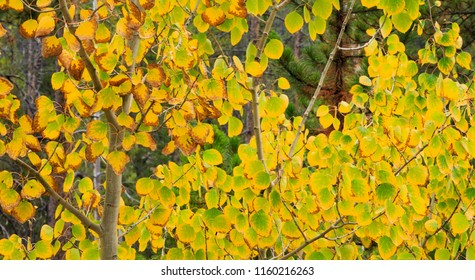 Horizontal orientation color image of Aspen leaves in autumn in the Rocky Mountains of Colorado
