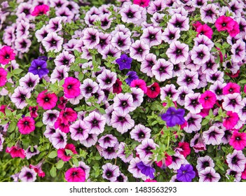 horizontal orientation color image of bright petunias in shades of pink and purple