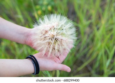 horizontal orientation color image of a child holding a large Dandelion outside on a sunny day, with a green field as background / Dandelion in a child's hands