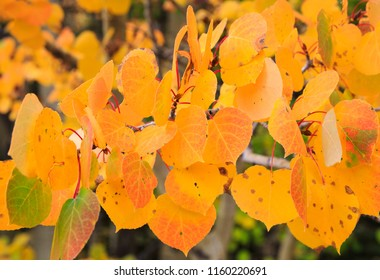 Horizontal orientation color image close up of Aspen leaves in the Rocky Mountains of Colorado, USA