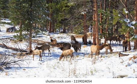 Horizontal orientation color image of a herd of Elk in the Rocky Mountains of Colorado in winter