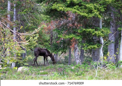 horizontal orientation color image of a moose grazing in the forest on the Donut Falls Trail, Big Cottonwood Canyon, Utah, USA / Moose on the Donut Falls Trail in Utah