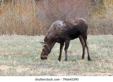 Horizontal orientation color image of a moose cow grazing in the meadow, with copy space