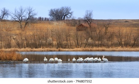 Horizontal orientation color image of Pelicans at the St. Vrain State Park in Colorado, USA