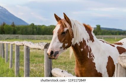 horizontal orientation color image of a single multi colored horse in a pasture in Jackson, Wyoming, USA in summer