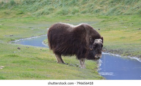 Horizontal orientation color image of a single musk ox in a meadow near a stream of water