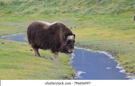 Horizontal orientation color image of a single muskox standing by a stream of water