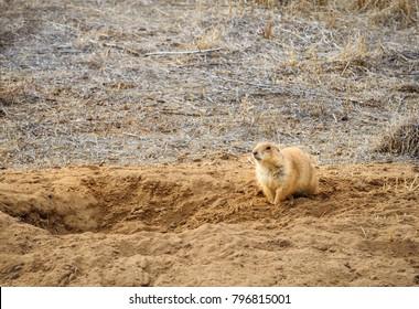 horizontal orientation color image of a single prairie dog near its burrow