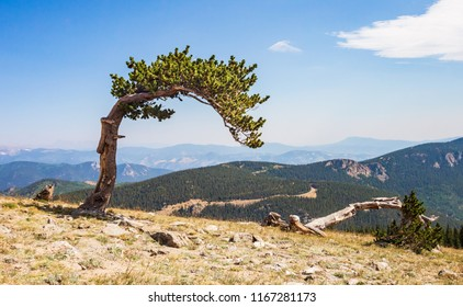 horizontal orientation color image of a wind bent tree and mountains seen from Mt. Evans road, Colorado, USA