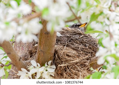 horizontal orientation color image of a young robin sitting on her nest in a flowering tree in springtime